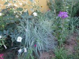 big beautiful bluestem windwalker big bluestem plant select