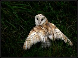 Barn Owl Photography Barn Owl By Cycoze On Deviantart