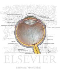 Anatomy Of The Eye Anatomy Of The Eyeball