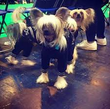 affenpinscher crufts 2016 crufts 2016 dog show images and results i petsworld pets world