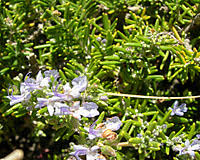 how to overwinter rosemary terry l ettinger horticulture