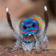 when jumping spiders show their true colors biologists look