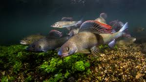freshwater fish freshwater fish photography paul colley underwater photography