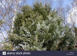 rocky mountain juniper juniperus scopulorum blue heaven stock