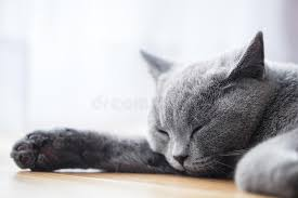 sleeping on short hair young cute cat sleeping on wooden floor the british shorthair stock