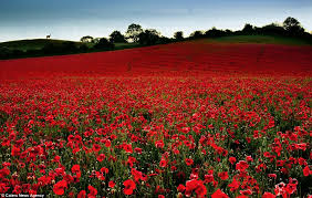 remembrance beautiful poppy field