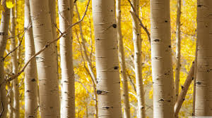 birch trees 4k hd desktop wallpaper for 4k ultra hd tv u2022 dual