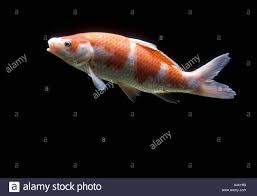 carpe koi water aquarium freshwater pet hobby underwater swim fish