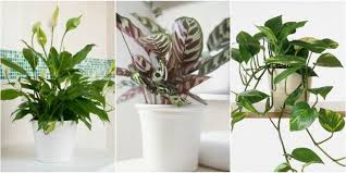 indoor plants that need no light best shade loving houseplants houseplant for dark corners