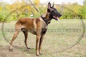 belgian shepherd uk braided leather dog collar for belgian malinois