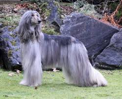 afghan hound agility afghan hound jumping picture dog breeders guide