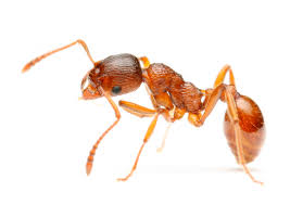 Tiny Crawling Bugs In House by More Than 30 Species Of Ants Can Be Found In And Around North