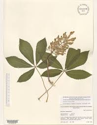 common trees of the north carolina piedmont aesculus sylvatica