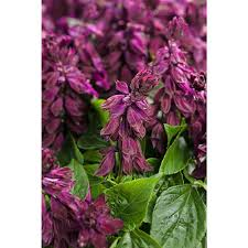 salvia flower proven winners ablazin purple salvia live plant purple flowers