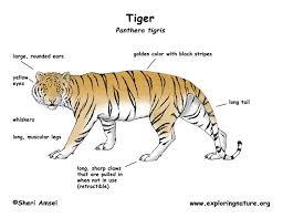 unique characteristics the sumatran tiger
