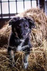 australian shepherd quebec 87 best images about animals on pinterest