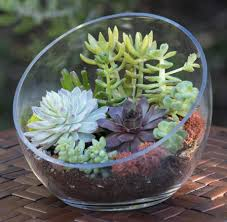 shop succulents succulents for sale buy succulents