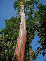 rainbow eucalyptus what a wonderful life