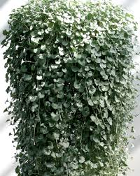 hanging basket plants for sun silver falls dichondra hybrid proven winners