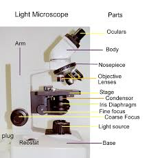 Parts Of A Compound Light Microscope Biology 2404