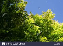 up of a cluster of japanese maple tree leaves with clear blue