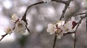 cherry blossom hd stock 970 471 038 framepool