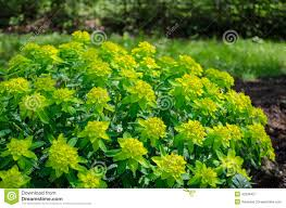 green ornamental foliage garden shrub stock photo image 42539427