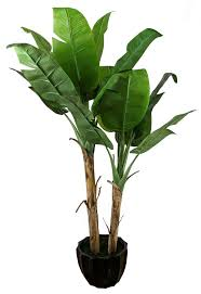 indoor banana plants google search osklen pinterest banana