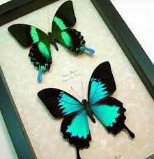 papilio blumei ulysses set colorful framed metallic blue