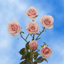 global roses pink flowers global