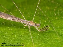 thread legged bugs macrocritters