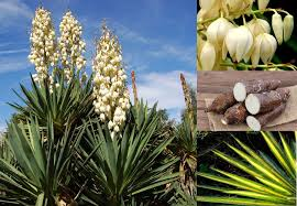 plants native to mexico how to find and use soap plants prepper u0027s will