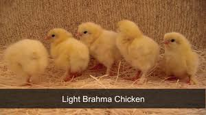 light brahma chickens by chickens for backyards youtube