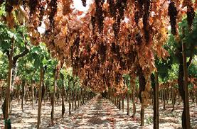 Canopy Separation Did Not Improve Dry On Vine Raisin Yield Or