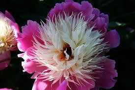 canada flowers canada flower garden flower ดอกไม garden สวน florists flora