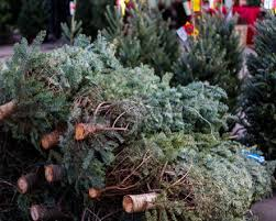 warboys christmas tree centre in north cambridgeshire