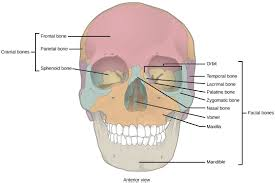 Parts Of The Face Anatomy Skeletal Systems Biology For Majors Ii