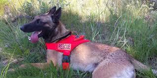 belgian sheepdog dog rescue cisco south dakota u0027s search and rescue dog