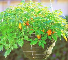 Vegetable Container Garden - container garden ideas and vegetable container gardening