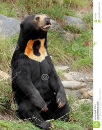 sun bear helarctos malayanus yes i know there u0027s a big watermark