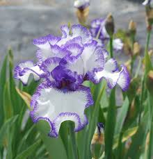 beautiful flower images world of irises strikingly beautiful flowers