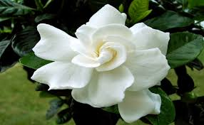 Fragrant Flowers Top 10 Aromatic Plants To Spread Delightful Fragrance In Your