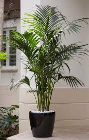 best 25 indoor palms ideas on pinterest big plants big indoor