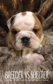 bluetick vs english coonhound 18 best labrador mix images on pinterest labrador mix animals