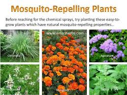 How To Get Rid Of Mosquitoes In Backyard by Best 25 Mosquito Plants Ideas Only On Pinterest Insect
