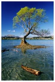 a slightly different angle of a well photographed tree in lake wanaka