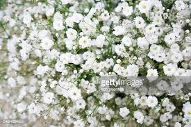 Baby S Breath Flower Closeup Of Babys Breath Flowers Stock Photo Getty Images