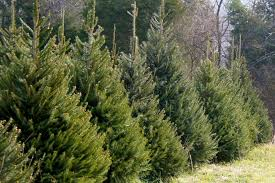 real christmas trees for sale christmas trees for sale in st cloud and central minnesota