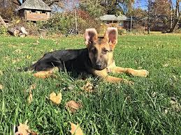 belgian shepherd ear problems ears folded backwards german shepherd dog forums