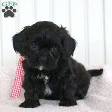 shi poo shih poo puppies for sale in de md ny nj philly dc and baltimore